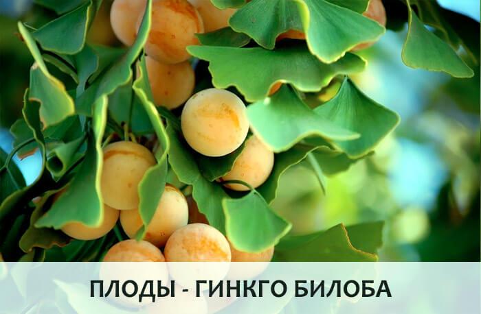 Плоды Гинкго Билоба