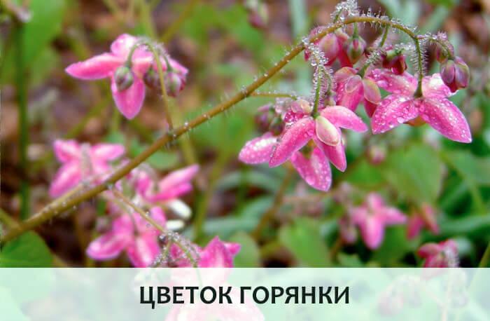 Цветок горянки