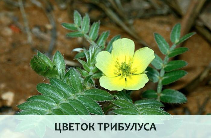 Цветок трибулуса