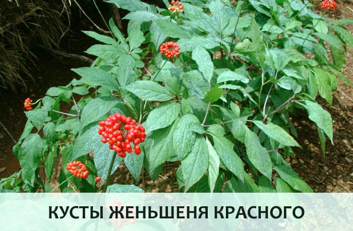Кусты женьшеня красного